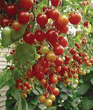 cherry cherry tomatoes
