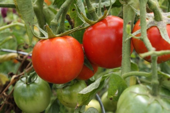Выращивание томатов особенности 86