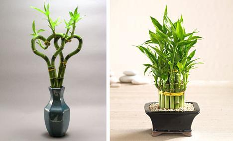 bamboo at home