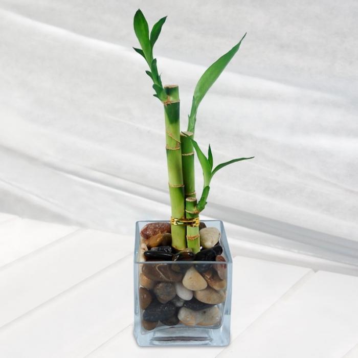 Комнатный бамбук уход в домашних условиях пошагово