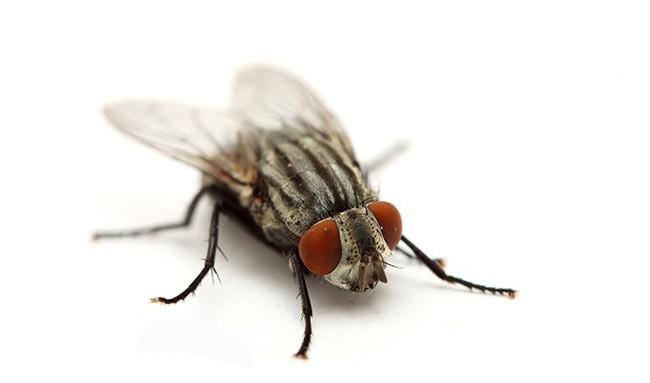 Рой мух дома