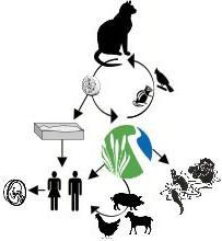 toxoplasmosis in cats symptoms