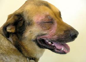 летняя аллергия у собак