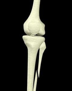 Малая берцовая кость ноги