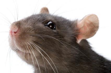 выдающиеся люди со знаком крысы