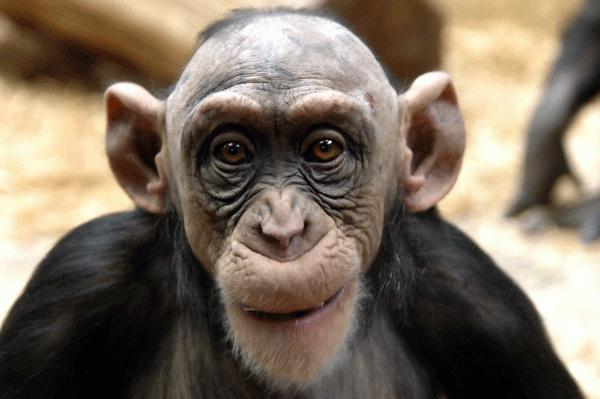 Лысая обезьянка картинка