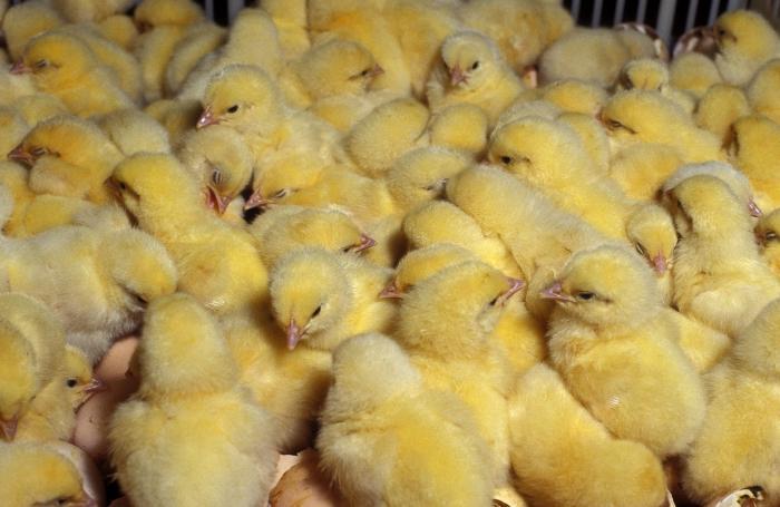 цыпленок бройлер выращивание
