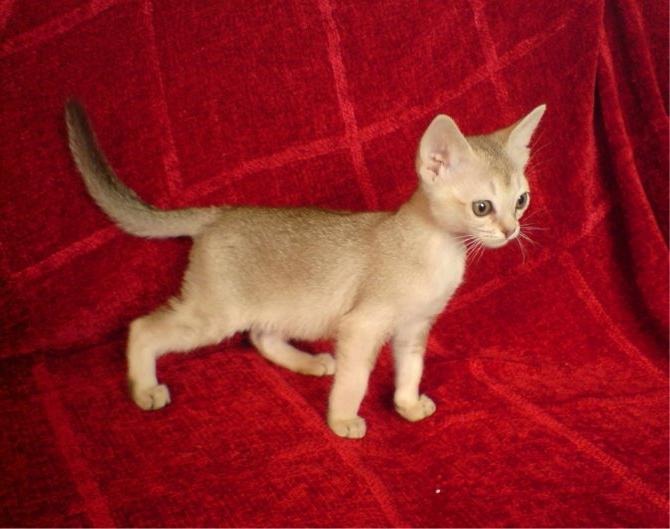 the smallest cat breed