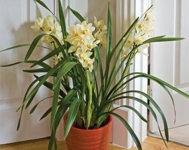 - Orchidea da esterno cymbidium ...