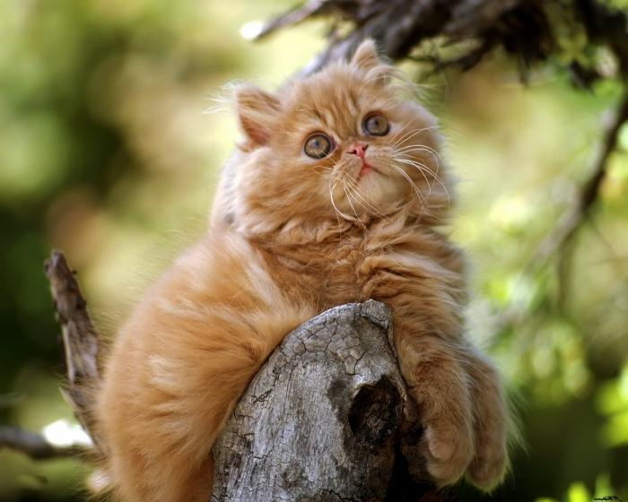care for persian kittens