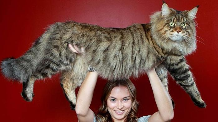 Крупный в мире кот