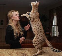 Огромный кот порода фото