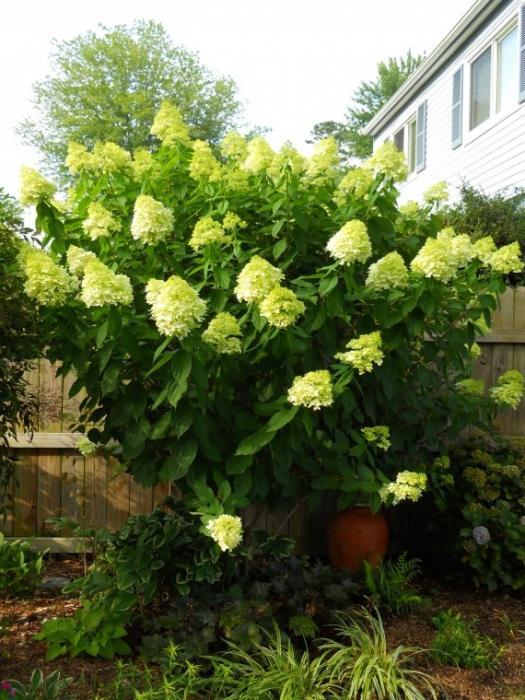 Многолетние садовые кустарники цветущие все лето фото