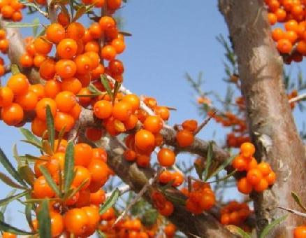sea ​​buckthorn hair oil