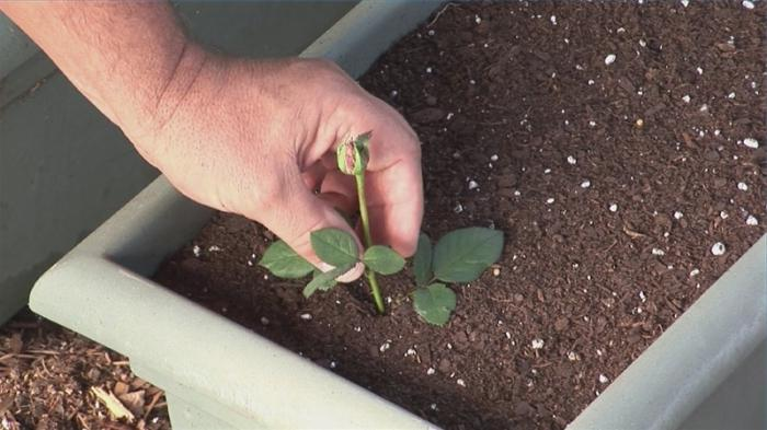 Вырастить розу из букета
