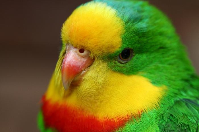 к чему снятся папугаи