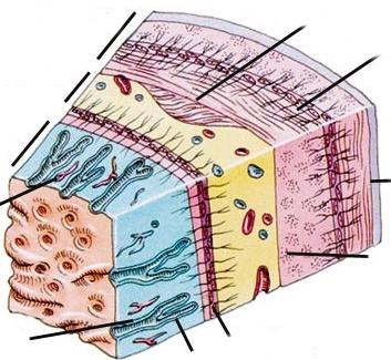 stomach layers