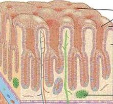 stomach glands