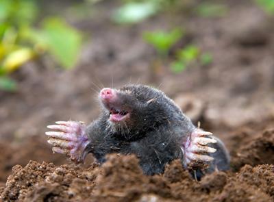 moles fighting them