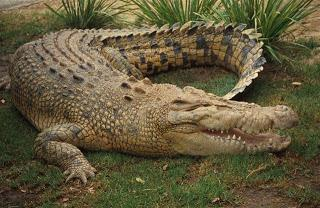 what crocodiles dream about