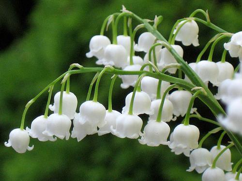Семейство лилейные цветы овощи