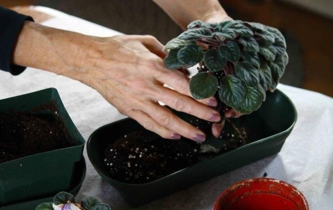 Размножение фиалки листом пошагово