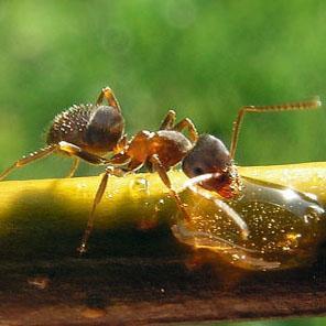garden ants fight