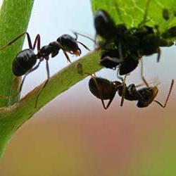 Хитрая борьба с садовыми муравьями