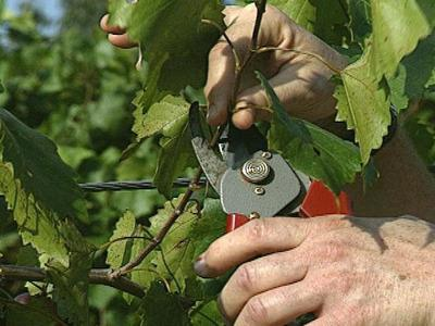grape pruning care