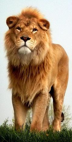 Мужчина-Лев. Как завоевать Льва?