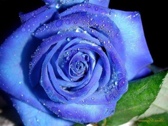 Язык цветов к чему дарят белые розы и