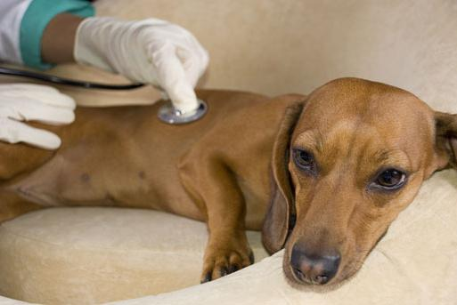 Симптомы энтерита у собак