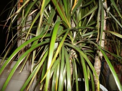 dragonza marginate disease