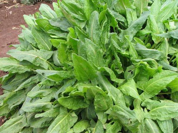 harvesting sorrel for the winter