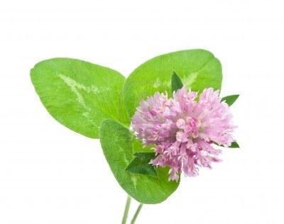 healing properties of red clover