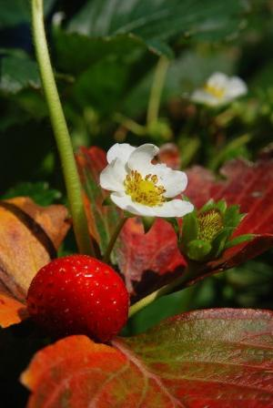 when to plant strawberries