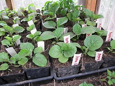 eggplant growing in the greenhouse