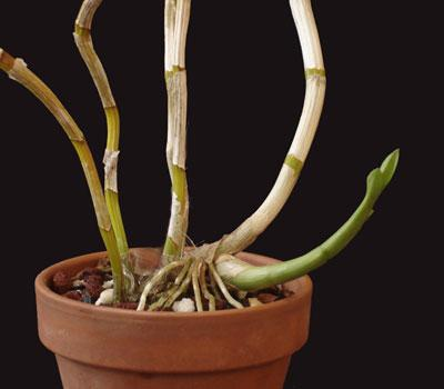 orchid breeding photo