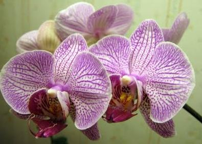 how orchids reproduce
