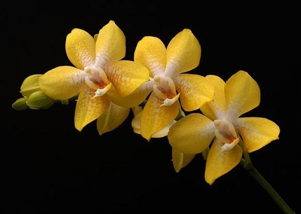 orchid breeding photo flower