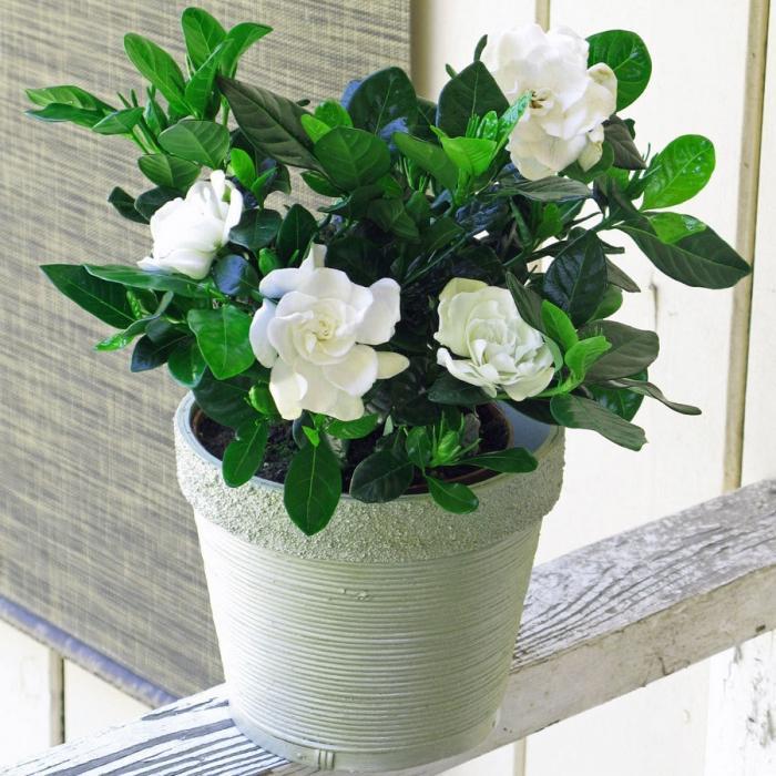 Уход за цветком гардения в домашних условиях