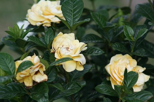 Как ухаживать за gardenia в домашних условиях