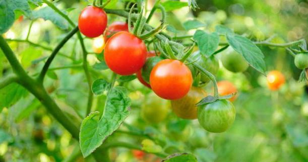 Почему томат и помидор