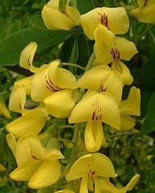 Bauber shrub