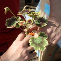 geranium care and reproduction