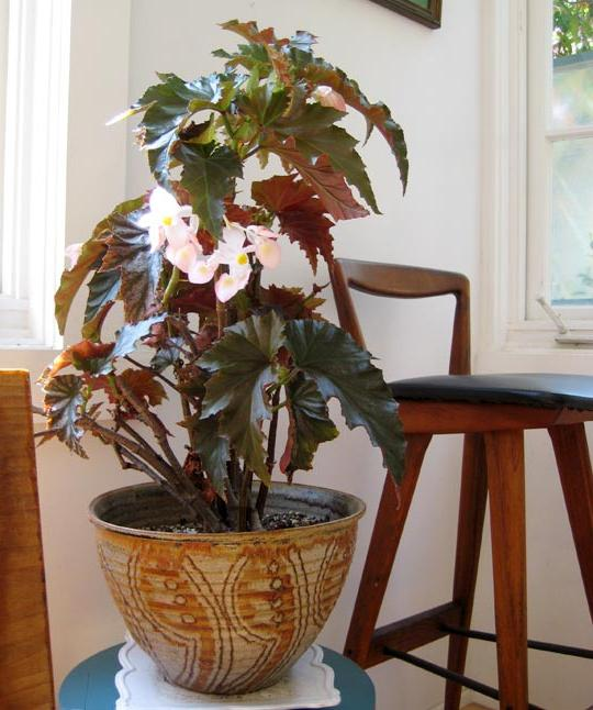 how to care for begonia