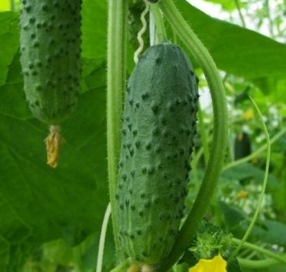 How to grow cucumbers in the open field