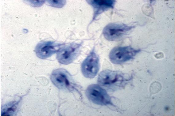 Микробиоценоз влагалища обнаружен фагоцитоз