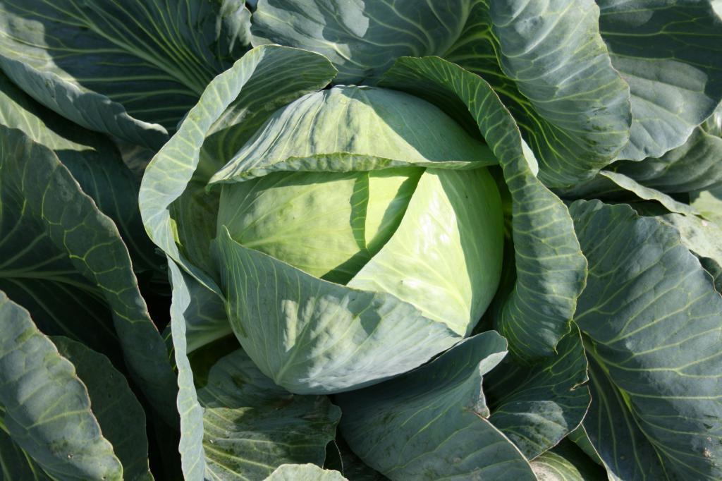 Можно ли солить капусту йодированной солью, как она влияет и какую лучше выбрать || Можно ли солить капусту йодированной солью