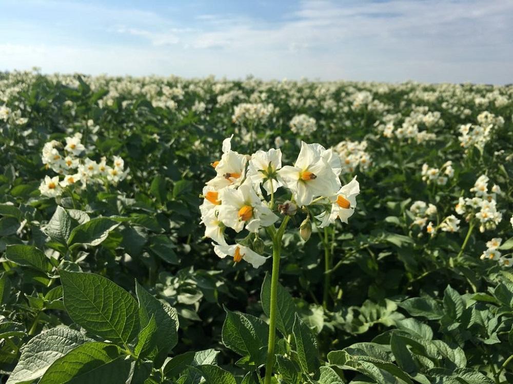 Цветет картофель картинка
